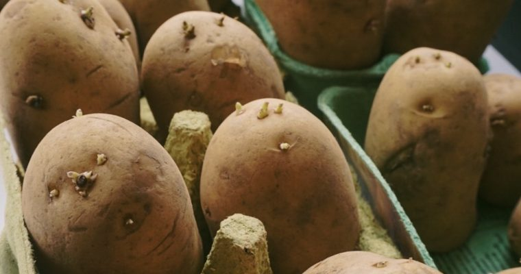 How to choose which varieties of potatoes to grow