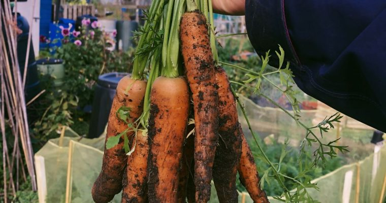 How to grow carrots, choosing varieties, debunking myths and preventing pests
