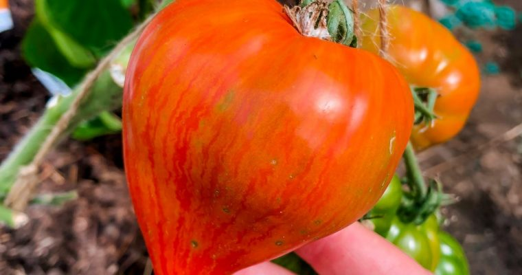 Preventing, spotting and dealing with tomato and potato blight